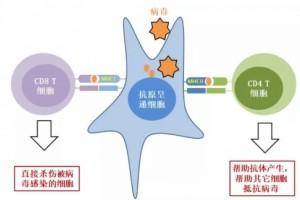 鹤松医药:健康群体已有针对对新冠病毒的T区细胞?别再小看你的免疫力了